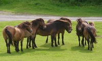 Exmoor Pony Breed Guide