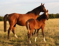 Choosing a stallion for your mare