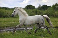 The Andalusian Horse Breed