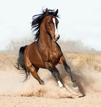 How to Buy an Arabian Horse