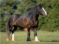 Horses for sale UK: Clydesdale horses
