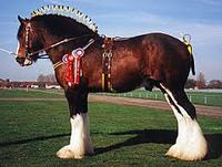 Horses For Sale UK: Shire Horses
