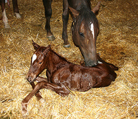 Equine breeding - Caring for a newborn foal