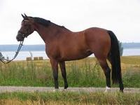 Horses for Sale UK - Danish Warmblood Breed Guide