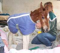 Caring for an orphaned, premature or sick foal