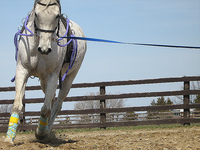 Lunge a Horse in Side Reins