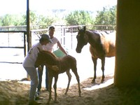 Training a foal for grooming