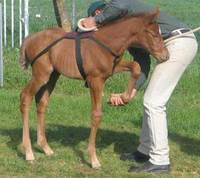Teaching a Foal to be Groomed