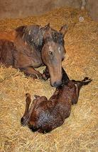 Foaling: How to foal a mare