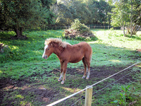 Irish Horses For Sale: The Kerry Bog Pony