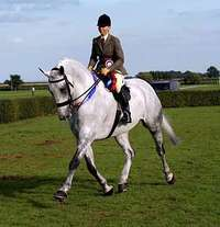 Irish Horses for Sale: Irish Draught