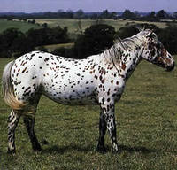 Horses For Sale: Appaloosa Horse