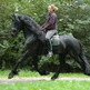 Friesian Horses: Training Tips