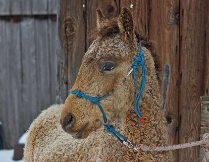 Adorable Curly Haired Horses Look Just Like Labradoodles