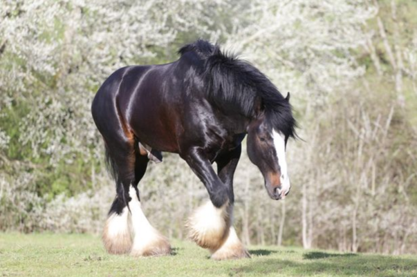 Shire Horse Who Helped Save His Companion's Life Is Honoured At Animal Hero Awards 2018
