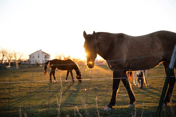 Horses Electrocuted By Power Lines Left Hanging In Field By Thieves