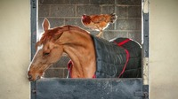 Bizarre inseparable friendship between race horse and chicken