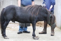 Horse owner banned after two Shetland ponies found with 'worst feet ever seen'
