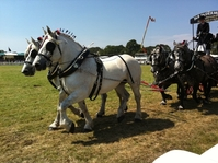 The New Forest Show thrills with Maxi Cobs and Shetland pony Grand National (video)