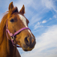 Legal horse slaughterer worried that the recent scandal could put his trade in jeopardy