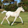 Palomino Welsh cob filly foal